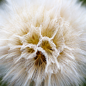 Hawkbeard by Siew Feun Kylemark - Nature Up Close Other plants ( fibbla, plant, hawkbeard, bloomed, nature, delicate, weed, white, hawkbit, flower, soft )