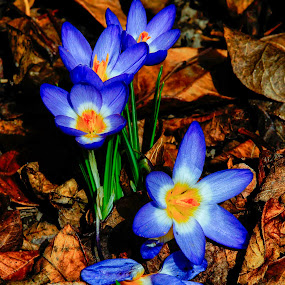 Crocus by Tamas Filep (ArtoFTom) - Flowers Flowers in the Wild (  )