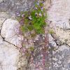 Ivy-leaved Toadflax, klobučić