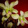 dendrobium orchid...