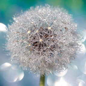 Make A Wish by Lynne McClure - Nature Up Close Other Natural Objects ( nature, dandelion, macro bokeh, waterdrops,  )