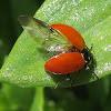 Hippodamia quinquesignata ambigua ladybug