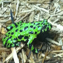 Fire-bellied Toad