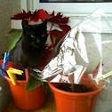 Gato europeo negro
