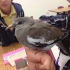 White-winged Dove (juvenile)