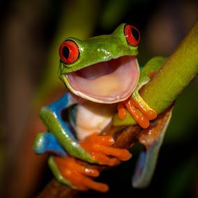 Pleasantly Surprised by Kutub Macro-man - Animals Amphibians ( #showusyourpets, nature, pet, red eye tree frog, #garyfongpets, amphibians, animal )