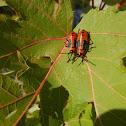 Large Milkweed Bugs (juveniles)