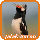 Pied Myna/Asian Pied Starling file APK Free for PC, smart TV Download