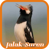 Pied Myna/Asian Pied Starling Apk Download Free for PC, smart TV