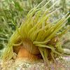 Snakelocks anemone. Anémona de mar