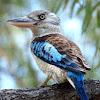 Blue Winged Kookaburra ( Male )