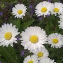 Common Daisy (Gänseblümchen)