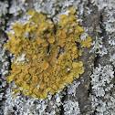 Common orange lichen / Žuti lišaj