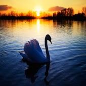 3D Swan