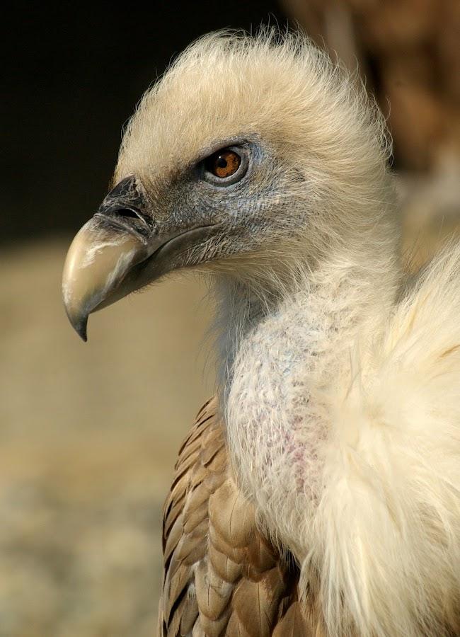 The predator by Christiane Baur - Animals Birds ( bird, wild, predator, wilderness, vulture, feathers, portrait, cute birdy, golden, eyes,  )