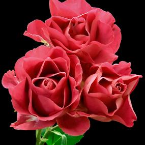 Three Sisters by Tom Vogt - Flowers Flower Arangements ( three, roses, pink, , Flowers, Flower Arrangements )