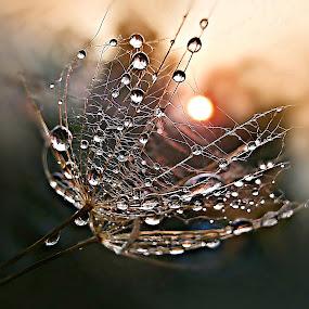 Get The Sun by Marija Jilek - Nature Up Close Other plants ( water, nature, goat-beard, drops, plants, seeds, sun )