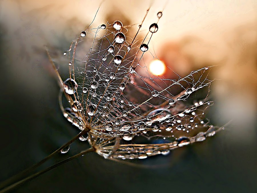 Get The Sun by Marija Jilek - Nature Up Close Other plants ( water, nature, goat-beard, drops, plants, seeds, sun )
