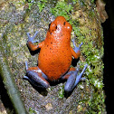 Blue-jeans or Strawberry Poison Dart Frog
