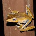 File Eared Tree Frog