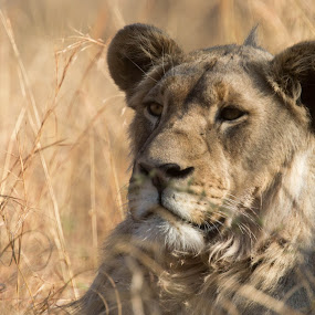 The Prince of Mankwe by Barbara Nolte - Animals Lions, Tigers & Big Cats ( cats, big five, lion, cat, south africa, pilanesberg, wildlife, lions, african wildlife, game reserve, africa )