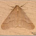 Linden Looper Moth