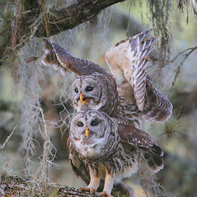 Love is in the air  by Liza Chevres - Animals Birds ( breeding, barred owls, mating, birds, owls,  )