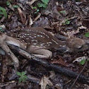 White-tailed Deer Fawn and adult buck.