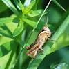 Short-horned Grasshopper (Nymph)