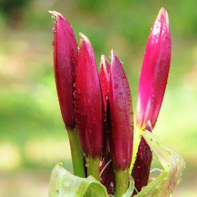 Amaryllis Buds by Priscilla Renda McDaniel - Flowers Flower Buds ( water, red, amaryllis buds,  )