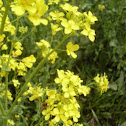 Wild Mustard