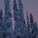 Pencil Pine Trees