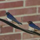 Barn Swallow (adult & juv.)