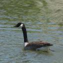 Canada Goose part 1