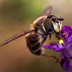 Succulant Nectar by Charlene Bacchioni - Animals Insects & Spiders ( macro, purple, bee, wings, nectar, flower,  )