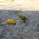European Wasp