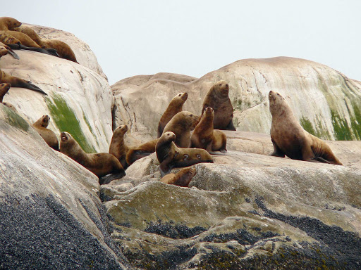Glacier-Bay-stellar-sea-lions - Stellar sea lions of the rocks of Marble Islands in Glacier Bay National Park.