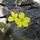 Yellow Flax, Golden girl