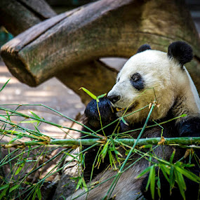 Bamboozle by Clifford Swall - Animals Other ( san diego zoo, bamboo, nom nom nom, panda eating bamboo, panda at zoo )