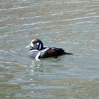 Harlequin Duck (male)