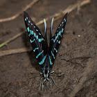 Mamba swordtail