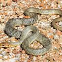 Caspian whipsnake