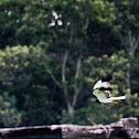 Pied Harrier