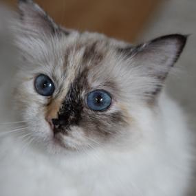 Blue eyed innocent look of a Sacred Birman by Birgit Vorfelder - Animals - Cats Portraits ( tortoise, cat, big eyes, tortie, innocent look, cat portrait, blue eyes, mammal, split face, animal )