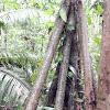 Walking Palm Stilt Roots
