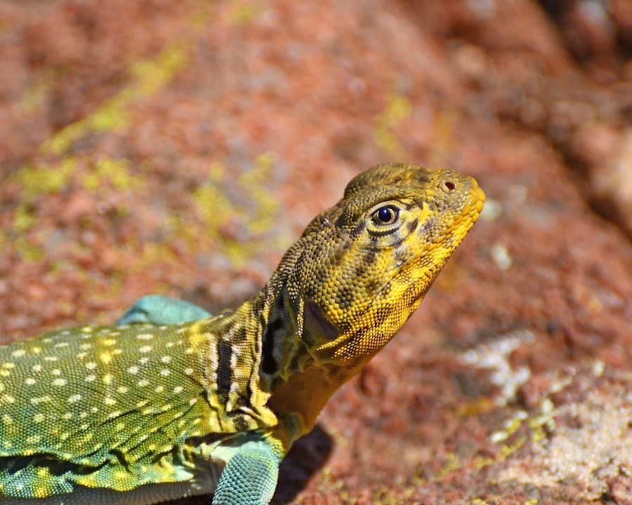 Mountain Boomer by Lynda Parker - Animals Reptiles ( mountain boomer, oklahoma state lizard, lizard, male lizard, nature lizard )