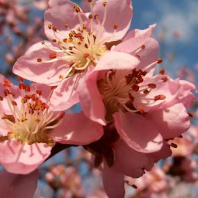 Peach blossoms by Snezana Petrovic - Flowers Tree Blossoms ( stamens, petals, colorful, peach, spring, blossoms, soft, pure, macro, nature, snezana petrovic, pink, garden,  )