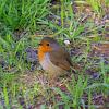 European Robin, Κοκκινολαίμης
