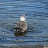 European Herring Gull (Juvenile)