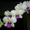 White Dendrobium Orchid.